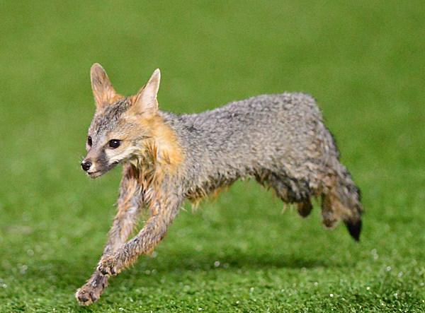 Reagor Dykes Ford >> The Texas Tech Fox Has Returned [Photos]